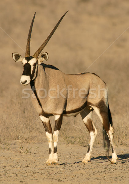 Gemsbok antelope  Stock photo © EcoPic