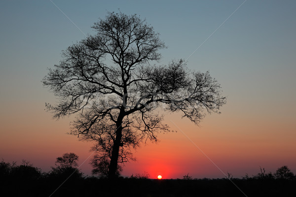 Savanna sunset Stock photo © EcoPic