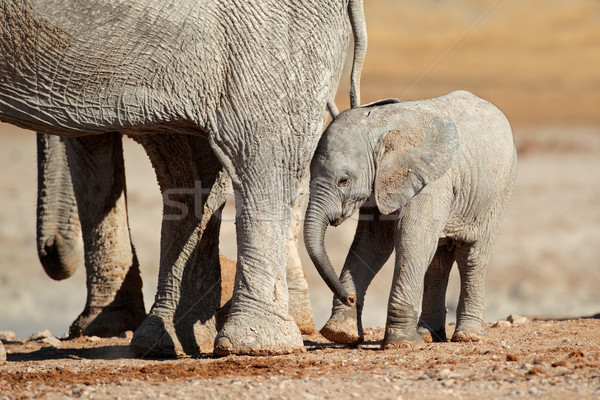 African elephant calf Stock photo © EcoPic