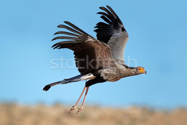 Secretary bird in flight Stock photo © EcoPic