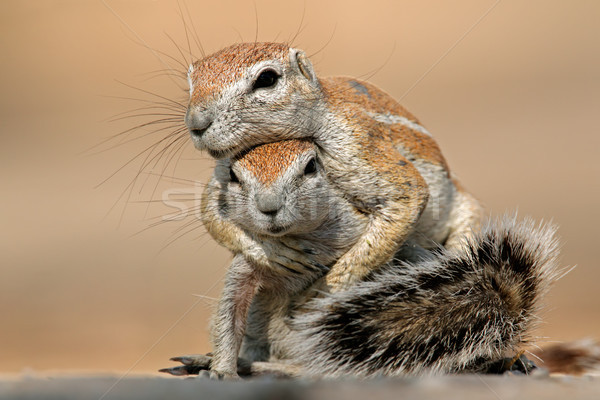 Playing ground squirrels Stock photo © EcoPic