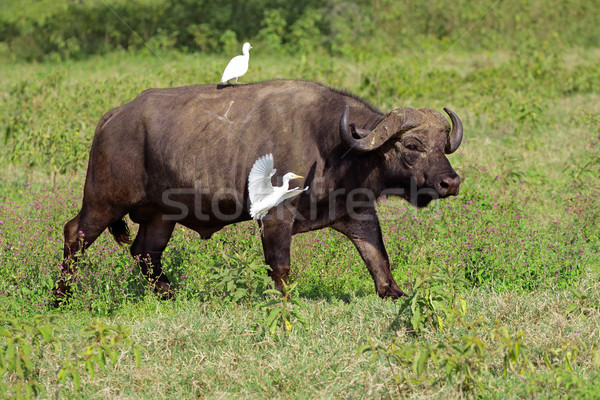 African buffalo with egrets Stock photo © EcoPic