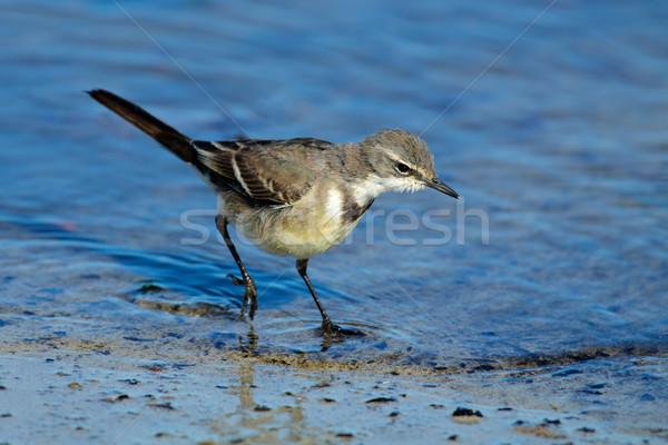 Seicht Wasser Südafrika Natur Vogel Fuß Stock foto © EcoPic