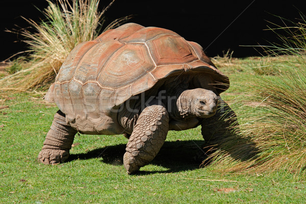 Galapagos tortoise Stock photo © EcoPic