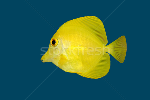 Yellow fish on blue  Stock photo © EcoPic