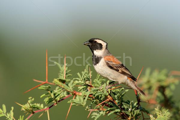 воробей мужчины филиала ЮАР глазах птица Сток-фото © EcoPic