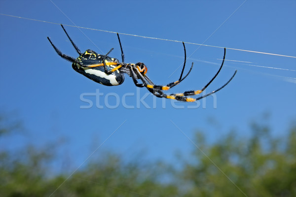 Golden orb web spider Stock photo © EcoPic
