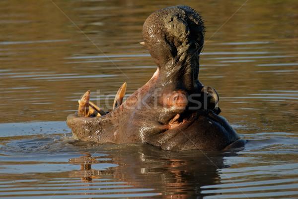 Hippopotamus yawning Stock photo © EcoPic