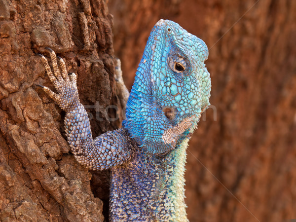 Tree agama Stock photo © EcoPic