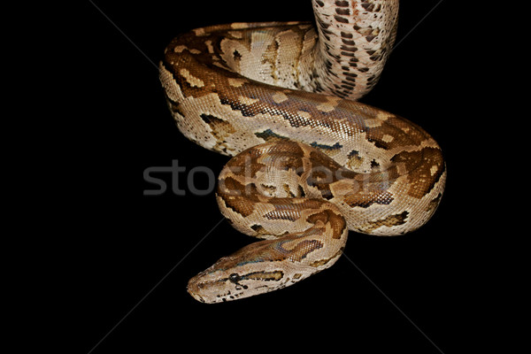 Sud africaine python Afrique nature peau Photo stock © EcoPic