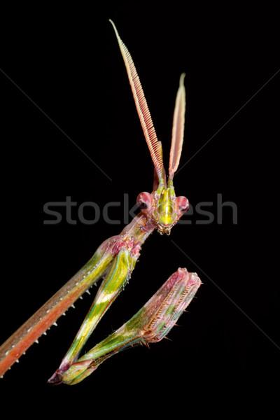Cone-headed Mantid Stock photo © EcoPic