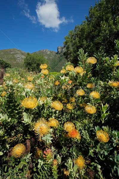 Botânico jardins colorido flores Cidade do Cabo África do Sul Foto stock © EcoPic