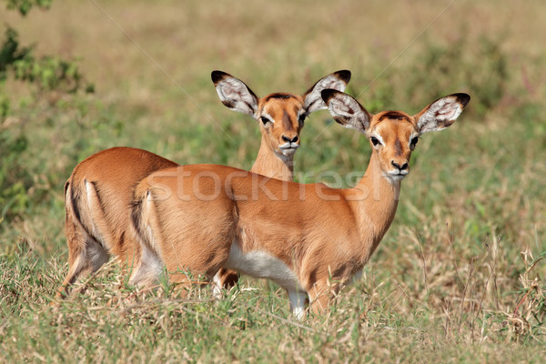 Impala antelope lambs Stock photo © EcoPic