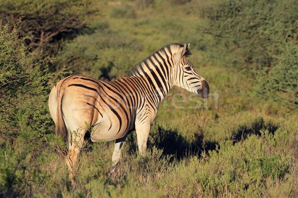 平野 シマウマ シマウマ 自然 生息地 南アフリカ ストックフォト © EcoPic