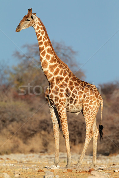 Giraffe bull Stock photo © EcoPic