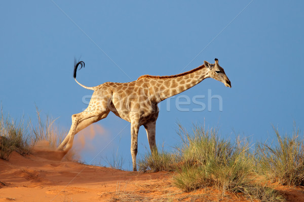 Stock photo: Giraffe on sand dune