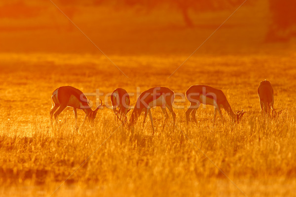 Stock photo: Springbok at sunrise