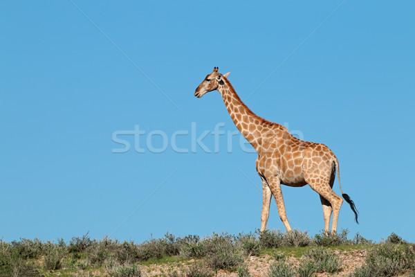 Giraffe against a blue sky Stock photo © EcoPic