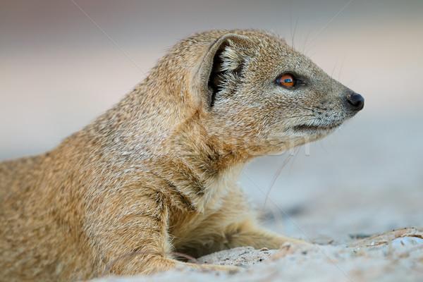 Yellow mongoose portrait Stock photo © EcoPic