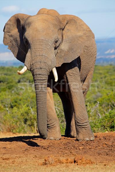 Elefante africano grande toro elefante parque Sudáfrica Foto stock © EcoPic
