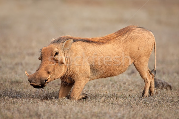 Feeding warthog Stock photo © EcoPic