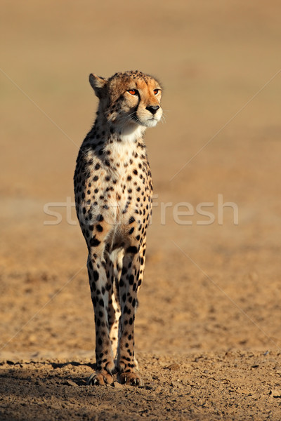 Alert Cheetah Stock photo © EcoPic