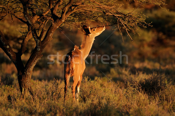 Feeding kudu antelope Stock photo © EcoPic