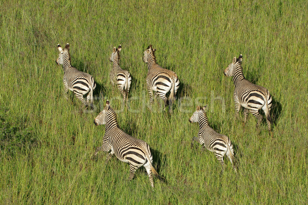 Montagne zèbres zèbre Afrique du Sud parc Photo stock © EcoPic