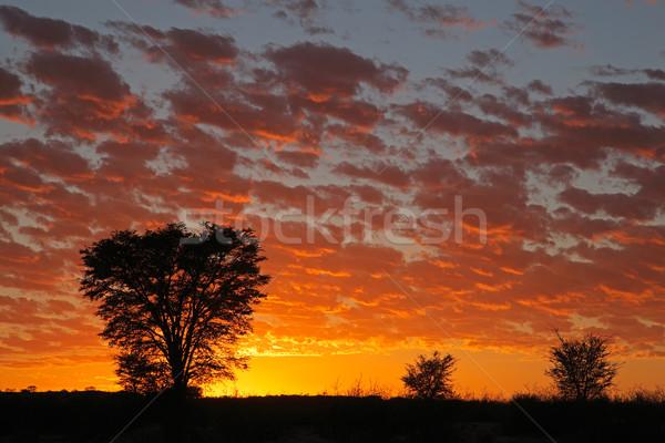 Foto stock: África · puesta · de · sol · árboles · desierto · Sudáfrica · árbol