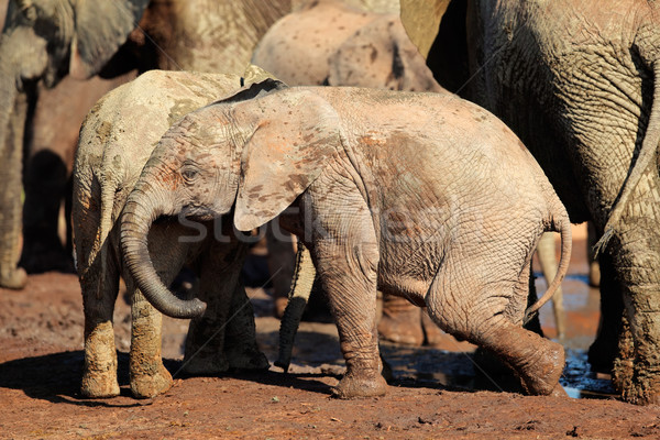 Baby afrikaanse olifant cute olifant park South Africa Stockfoto © EcoPic