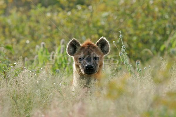 Hyena portrait Stock photo © EcoPic