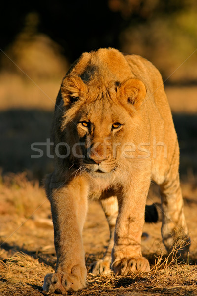 Stalking African lion Stock photo © EcoPic