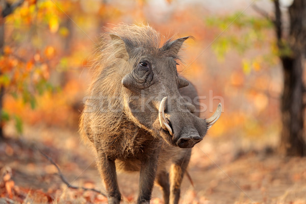 Warthog in natural habitat Stock photo © EcoPic