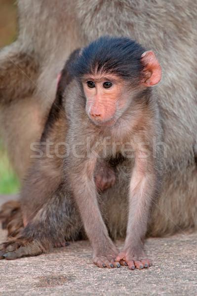 ребенка бабуин Cute матери ЮАР Африка Сток-фото © EcoPic