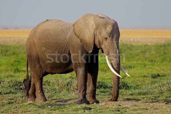 Stock photo: African elephant