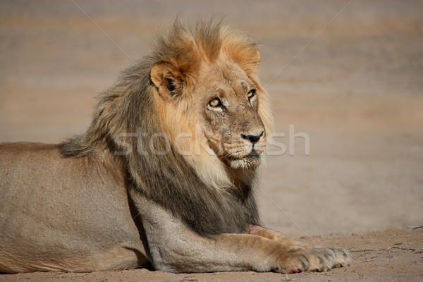 Сток-фото: большой · мужчины · африканских · лев · портрет · пустыне