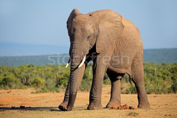 African elephant Stock photo © EcoPic