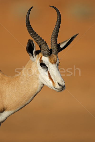 Springbok antelope portrait Stock photo © EcoPic