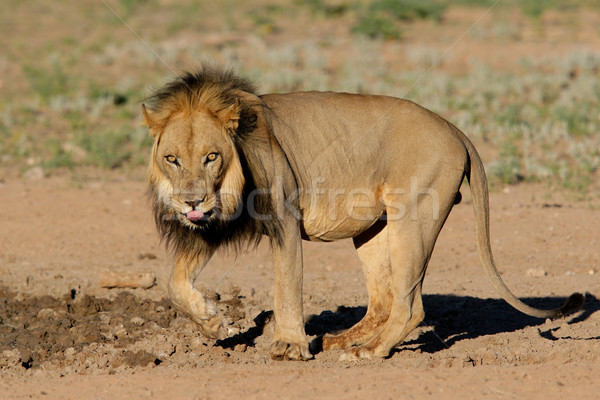 Black-maned African lion  Stock photo © EcoPic