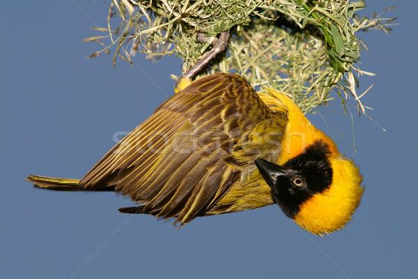 Masked Weaver Stock photo © EcoPic