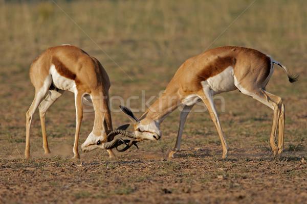 Fighting Springbok Stock photo © EcoPic