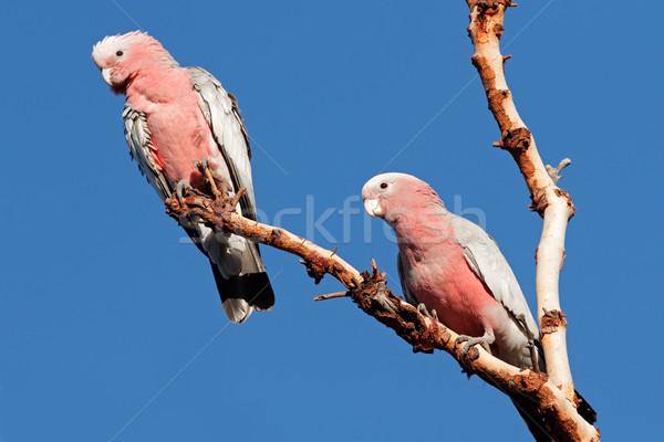 Galah Cockatoos, Australia Stock photo © EcoPic