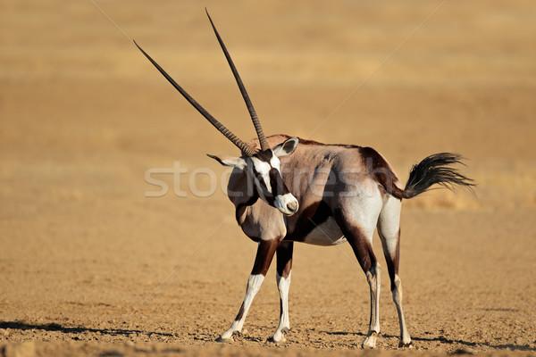 Stock photo: Gemsbok antelope