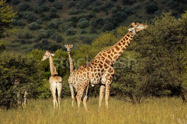 Zürafalar doğal yetişme ortamı Güney Afrika doğa ağaçlar Stok fotoğraf © EcoPic