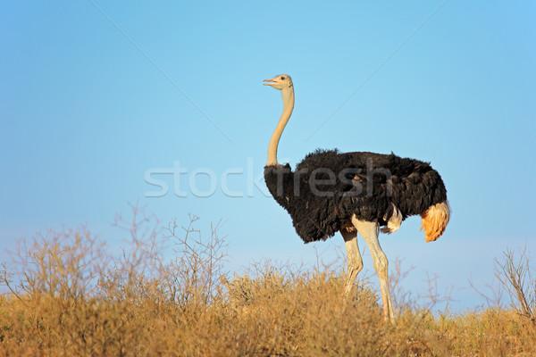 Homme autruche ciel bleu désert Afrique du Sud ciel Photo stock © EcoPic