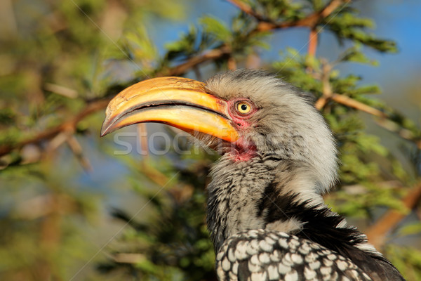 Yellow-billed hornbill Stock photo © EcoPic