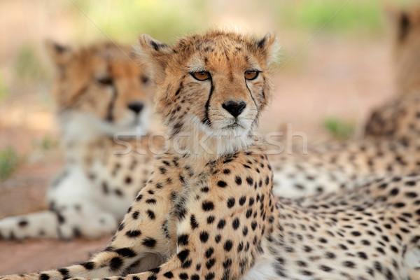 éber gepárd sivatag Dél-Afrika macska portré Stock fotó © EcoPic