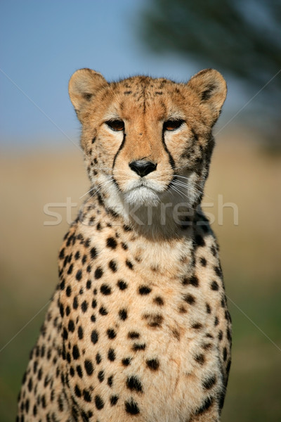 Cheetah portret vergadering South Africa natuur dier Stockfoto © EcoPic