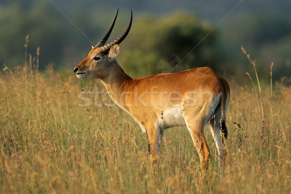 Red lechwe antelope Stock photo © EcoPic