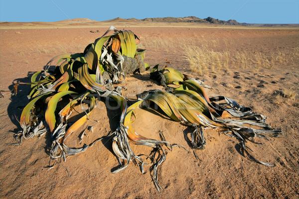 Welwitschia, Namib desert Stock photo © EcoPic